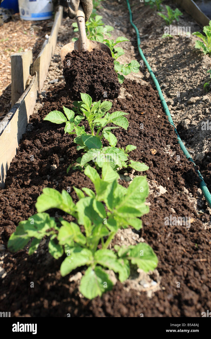 USING COMPOST MULCHING HUNGRY FEEDER LIKE POTATOES - Stock Image