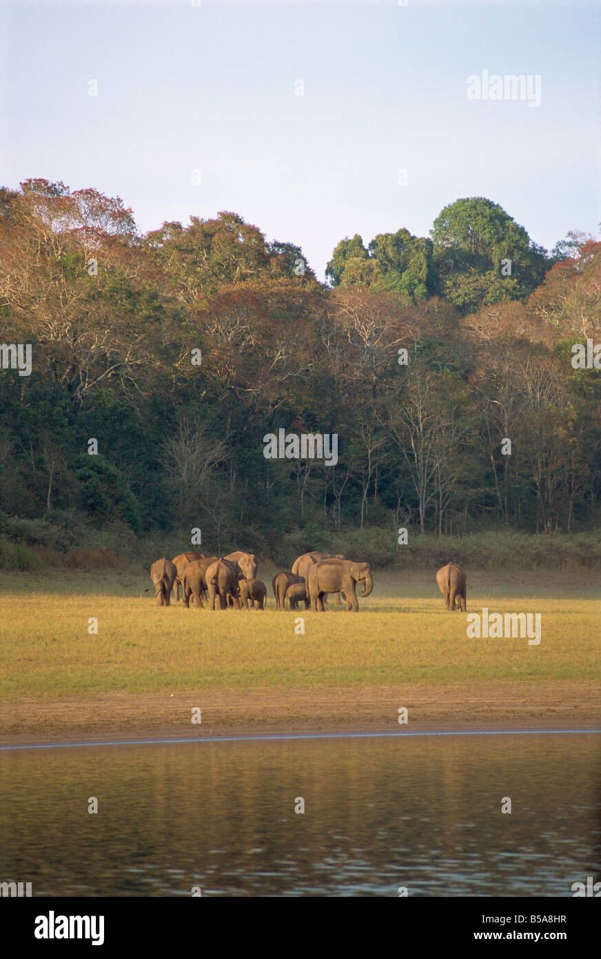 Elephants at the Periyar Wildlife Sanctuary, near Thekkady, Western Ghats, Kerala state, India - Stock Image