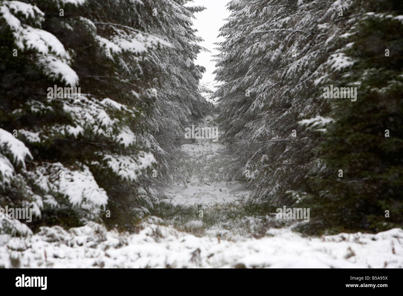 firebreak in a coniferous forest covered in snow county antrim northern ireland uk - Stock Image