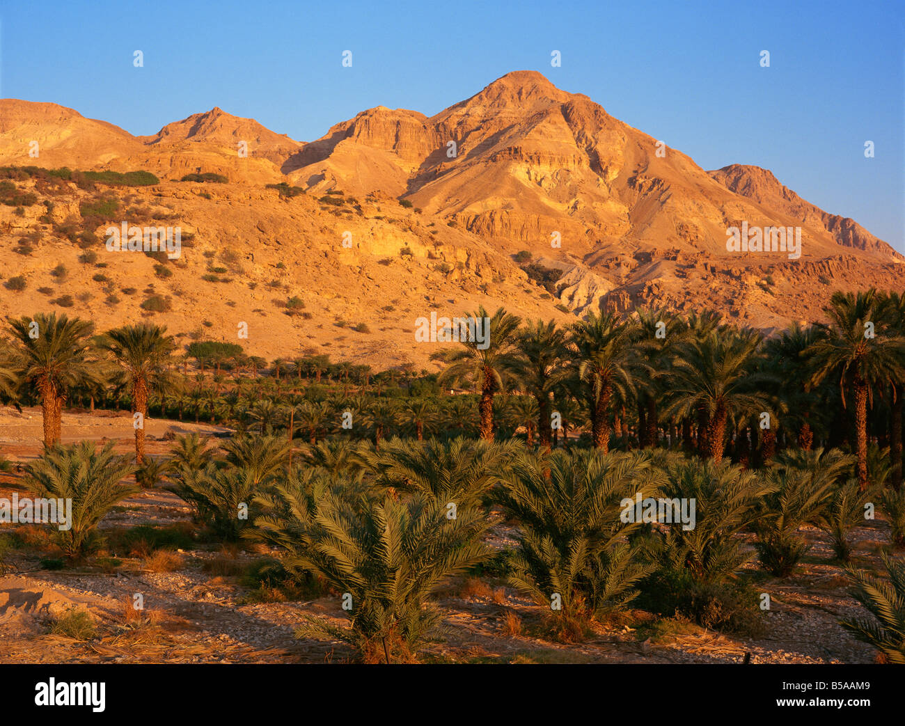 Palm trees and Mount Ishai at Ein Gedi in the Dead Sea area of Israel, Middle East - Stock Image