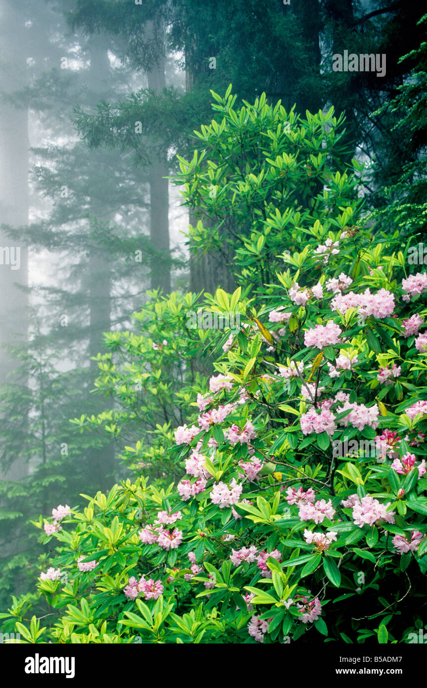 Rhododendron flowering in Redwood Forest - Stock Image