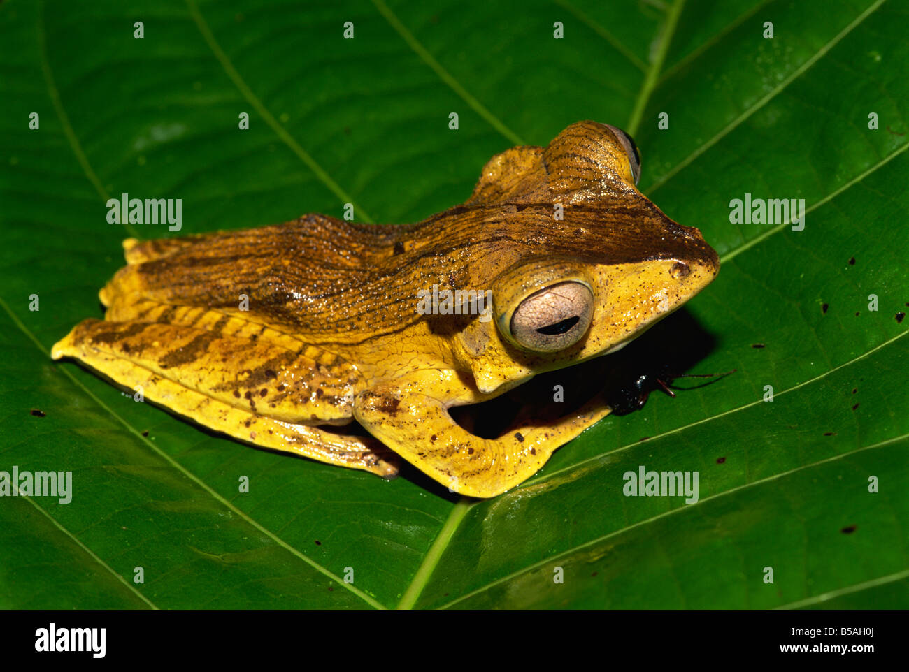 Unidentified Bornean tree frog species found in primary rainforest, Danum Valley, Sabah, Borneo, Malaysia, Southeast - Stock Image