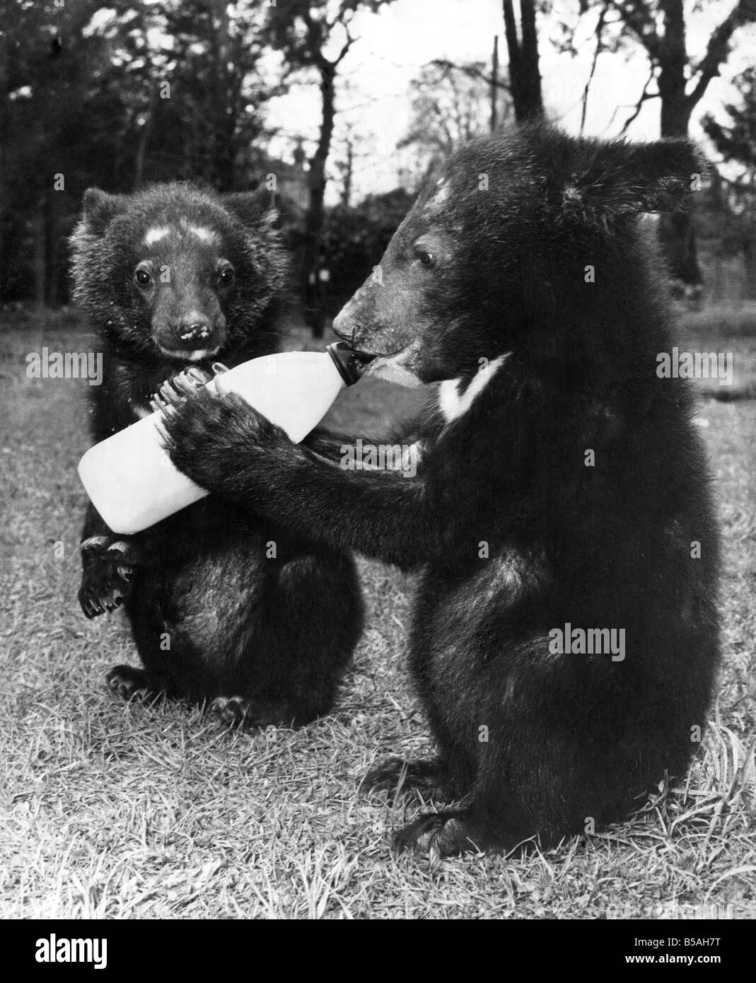 Two new arrivals at Flamingo Park Zoo at Kirkby Misterton, near Malton. They are nine week old Malayan bear cubs Stock Photo