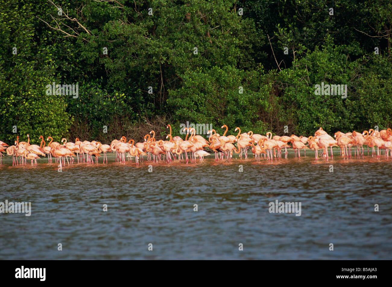Flamingos, Celestun National Wildlife Refuge, Celestun, Yucatan, Mexico, North America - Stock Image