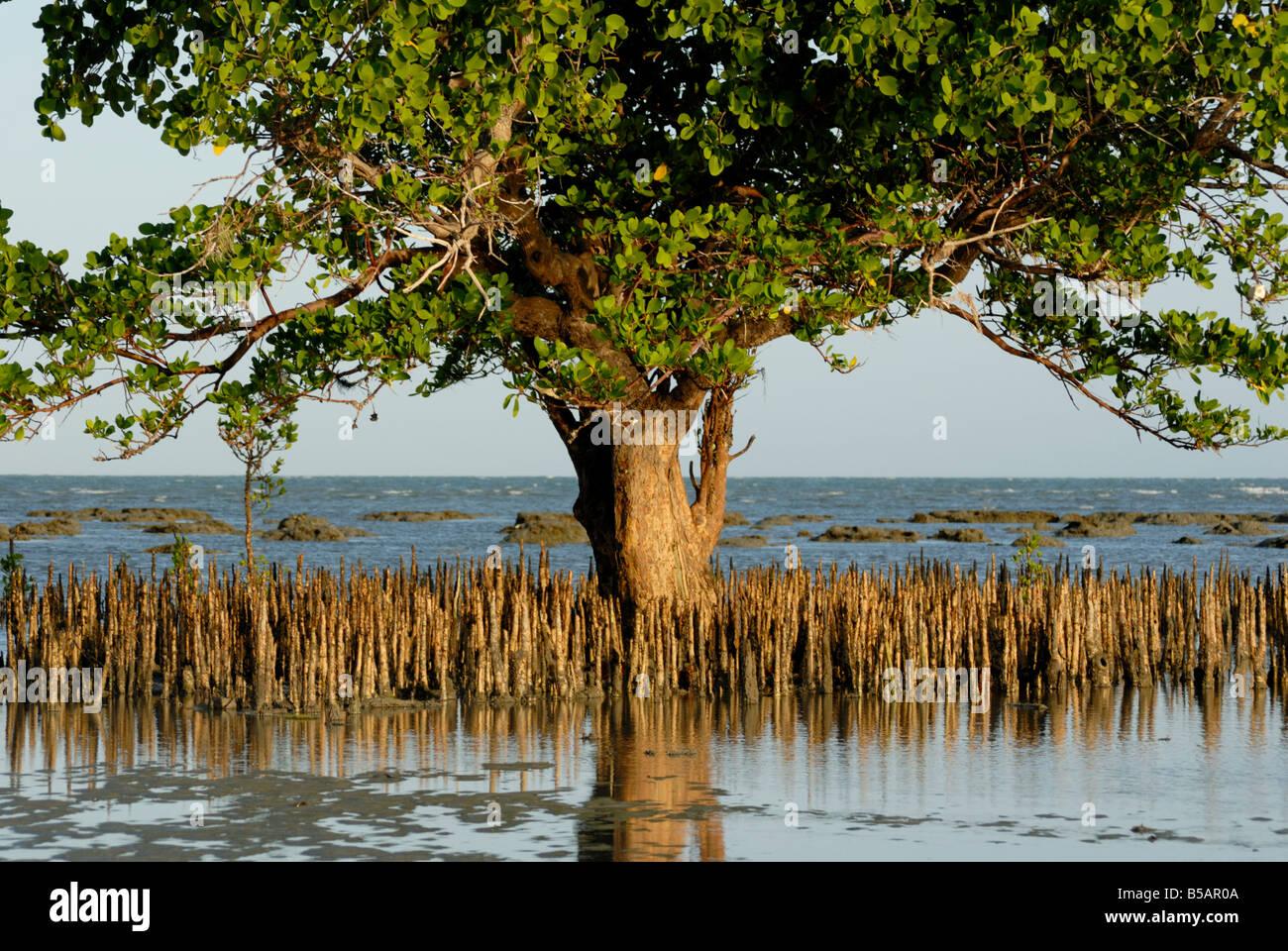 mangroves sand island tanzania east africa africa stock photo