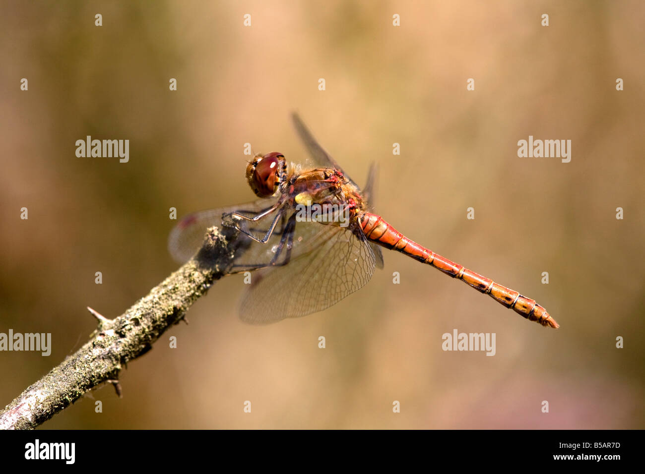 common darter Sympetrum striolatum male dragonfly - Stock Image