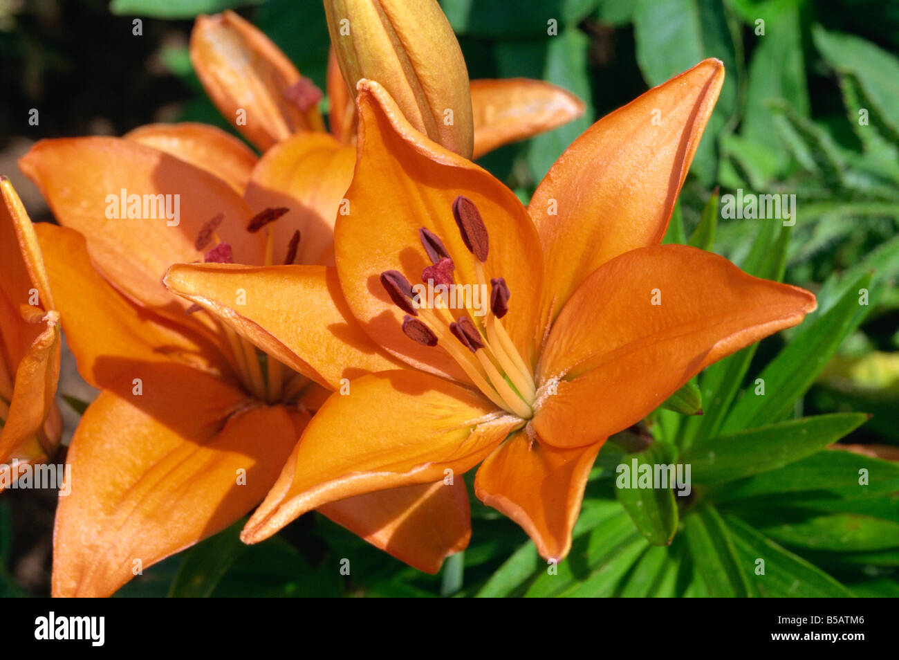 Close up of orange flowers of lilies lilium speciosum taken in june close up of orange flowers of lilies lilium speciosum taken in june in devon m h black izmirmasajfo