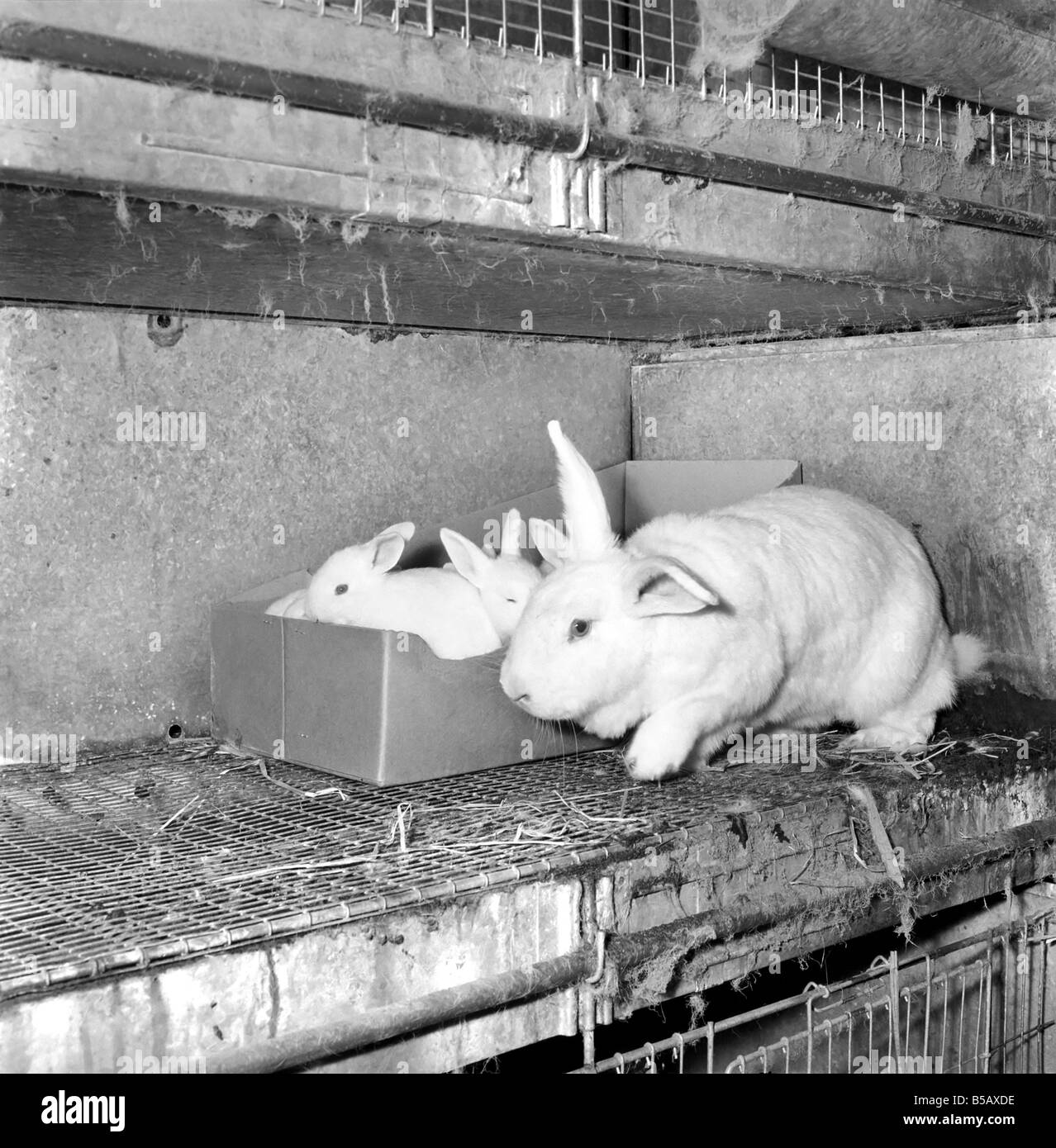 Rabbits bred in cage at a Rabbit farm. 1962 A871-002 - Stock Image