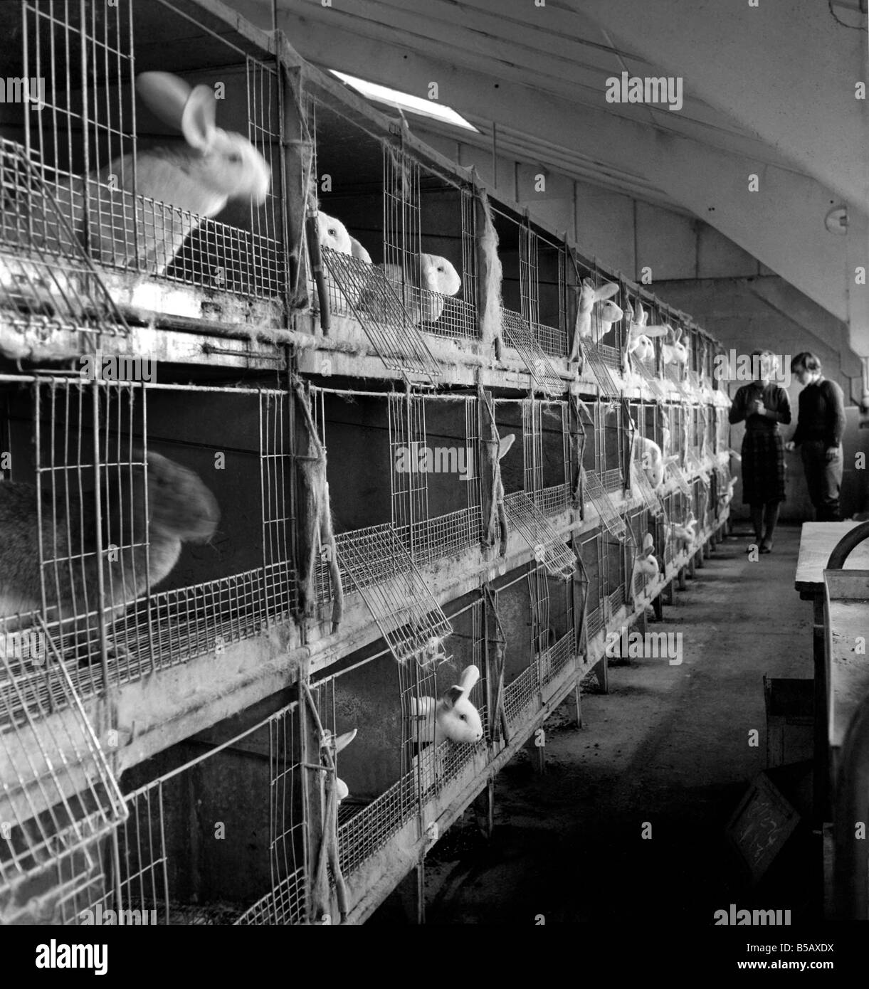 Rabbits bred in cage at a Rabbit farm. 1962 A871-005 - Stock Image