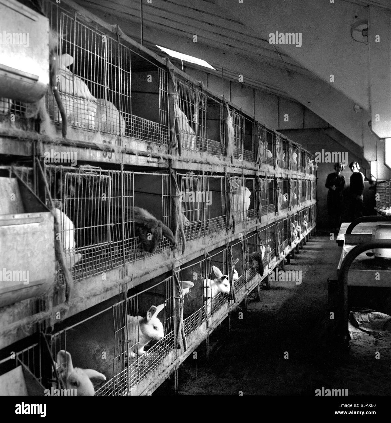 Rabbits bred in cage at a Rabbit farm. 1962 A871-006 - Stock Image