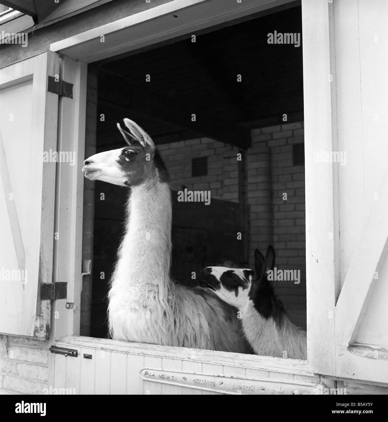 Llamas at Whipsnade Zoo. 1965 - Stock Image