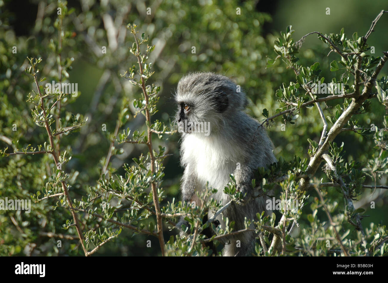 Small monkey in its natural habitat - Stock Image