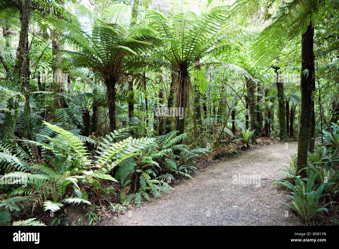 Bush walk, native trees and ferns, Mount Bruce National Wildlife Centre, Wairarapa, North Island, New Zealand, Pacific - Stock Image