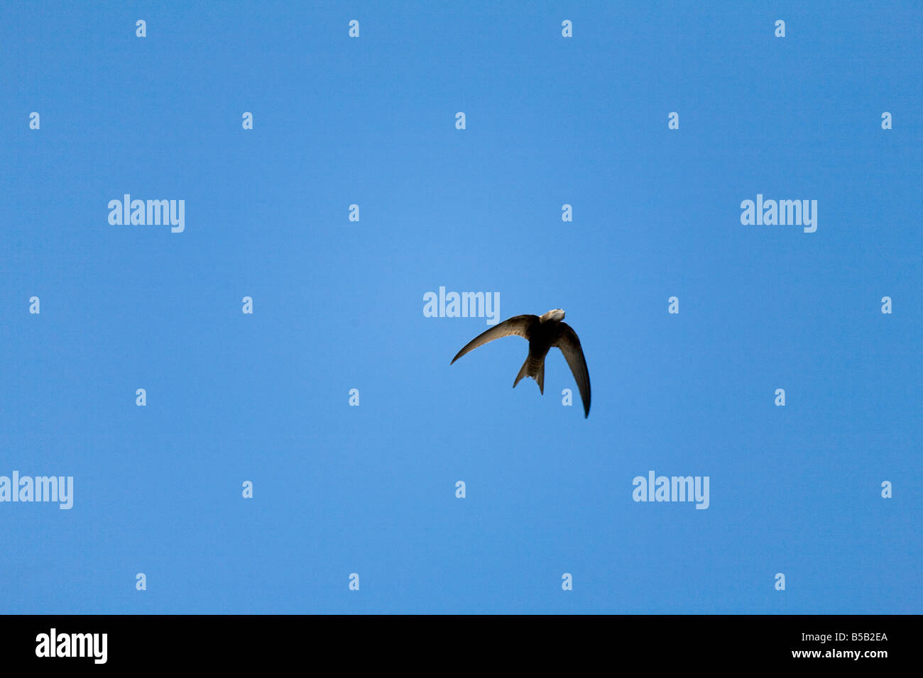 swift Apus apus in flight - Stock Image