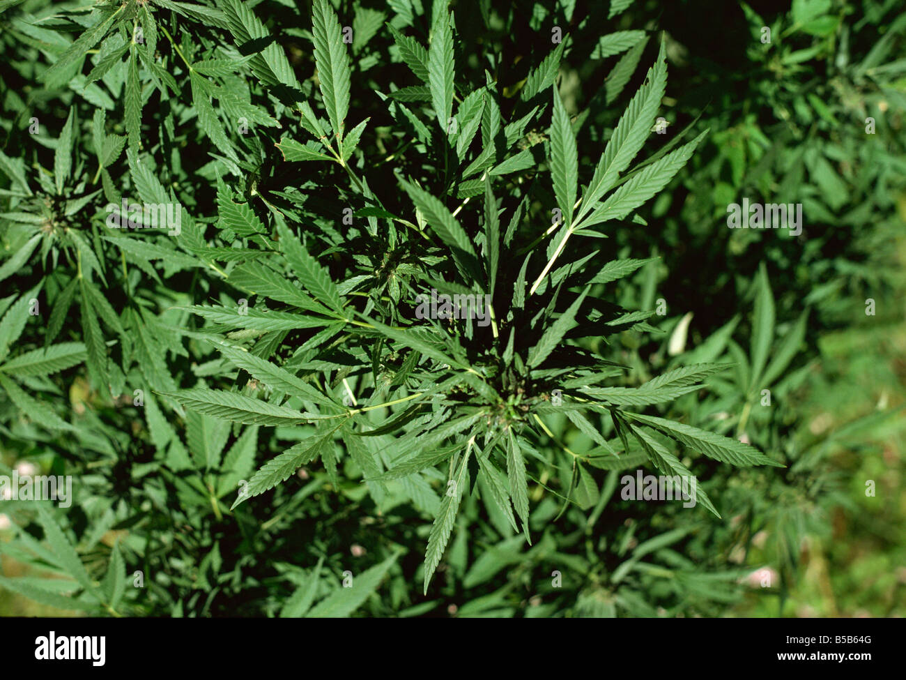 Cannabis plant Hunza Valley Pakistan Asia - Stock Image