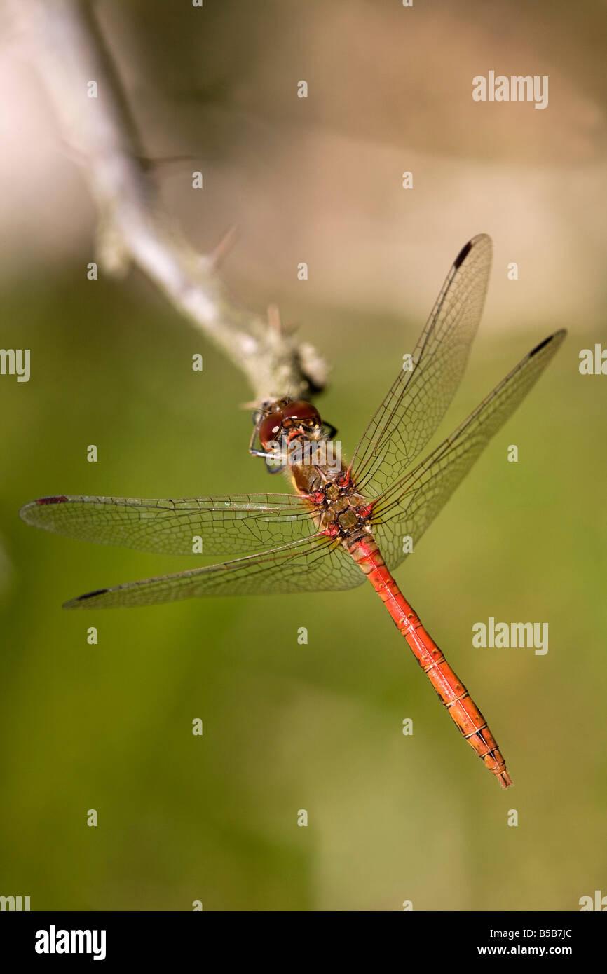 common darter Sympetrum striolatum male dragonfly Stock Photo