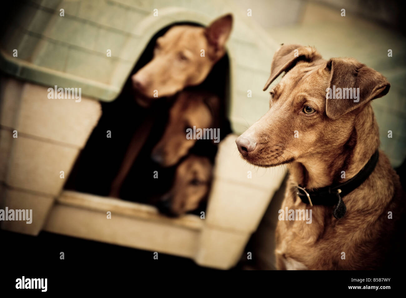 Four dogs from a rescue center, three of them are together in a small house and are looking out. Stock Photo