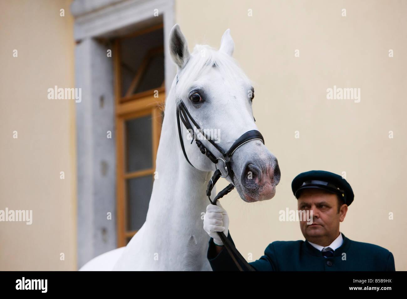 A Lipizzan Stallion on the Lipica Stud Farm in Slovenia - Stock Image