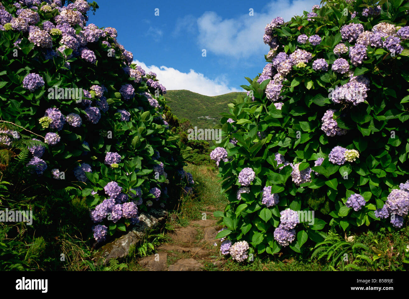 Hydrangeas a feature of the landscape of the island Sao Jorge Azores Portugal Europe - Stock Image