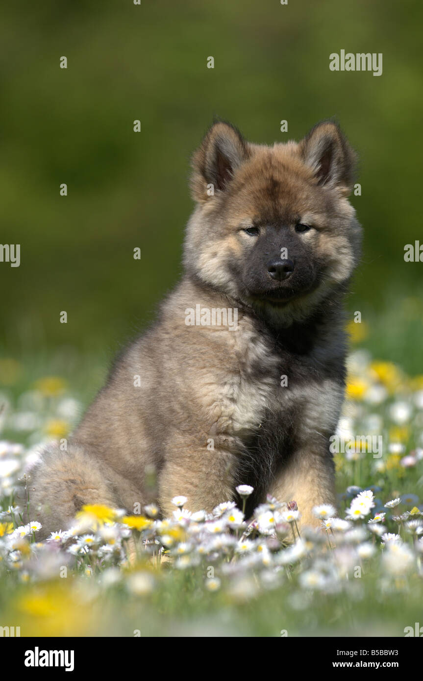 Eurasier, Eurasian (Canis lupus familiaris), puppy sitting in a flowering meadow - Stock Image