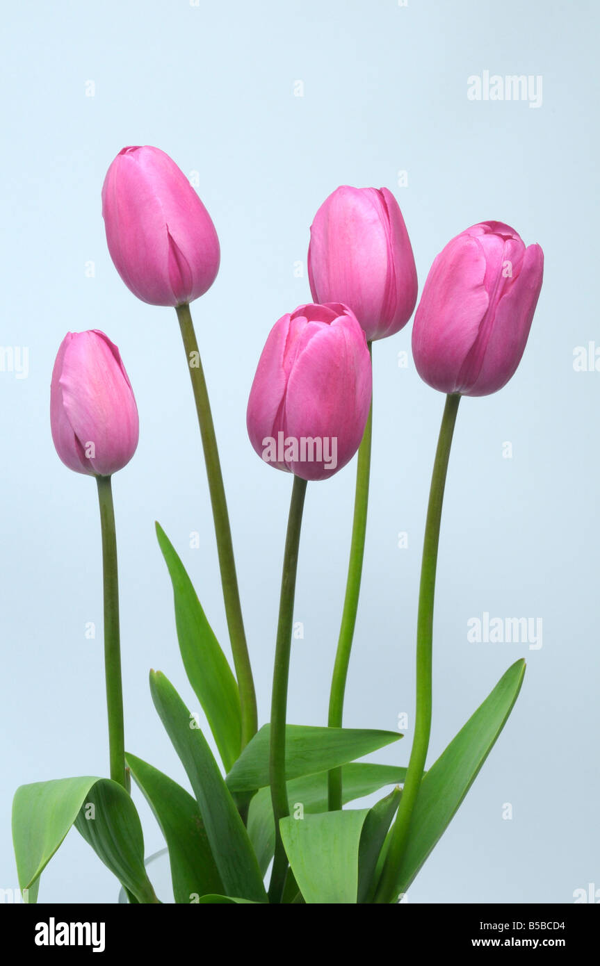 Tulip (Tulipa sp.), pink flowers with leaves, studio picture - Stock Image