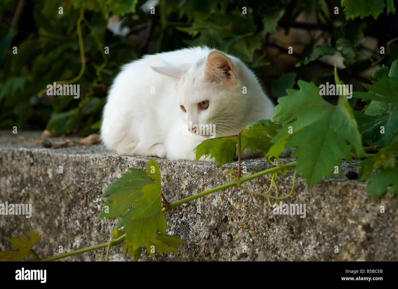 Feral Greek cat on a wall with  grape vine Stock Photo