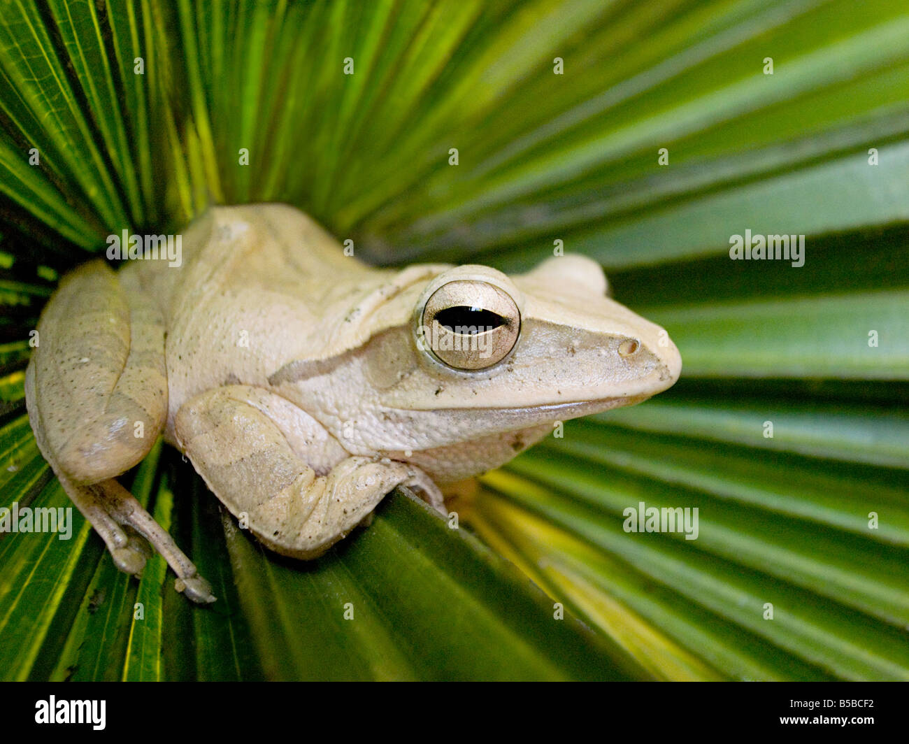 Close-up of frog, Vietnam, South East Asia - Stock Image