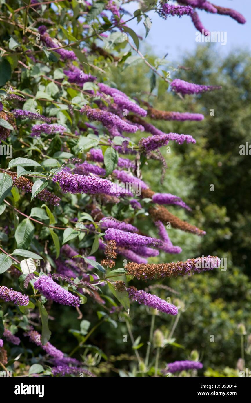 Buddleia davidii in flower - Stock Image