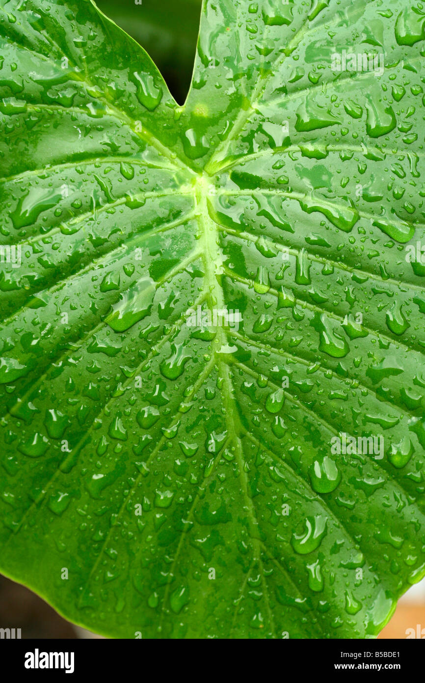 Droplets on leaf. Colocasia sp Stock Photo