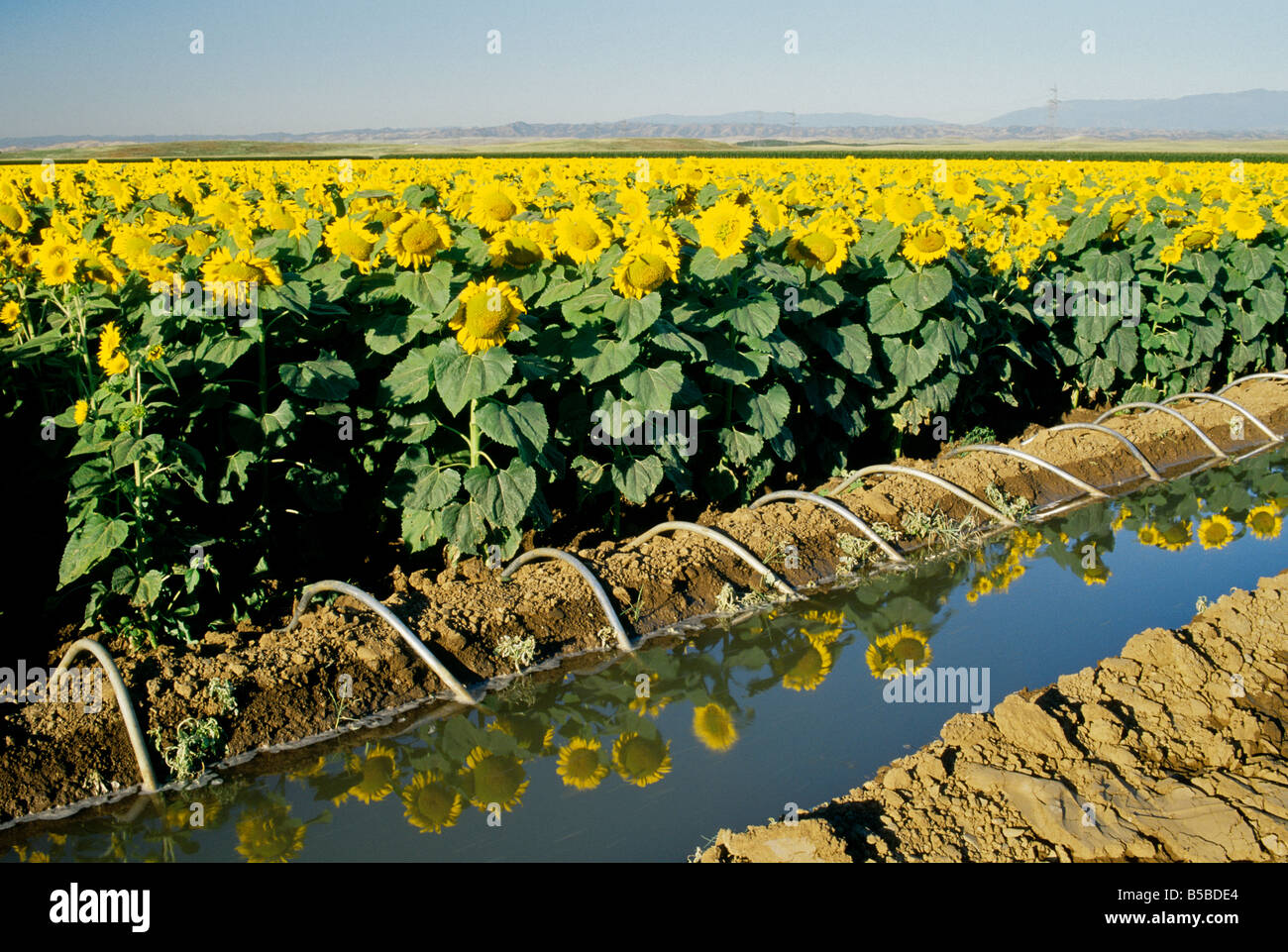 Sunflower field with siphon irrigation. - Stock Image