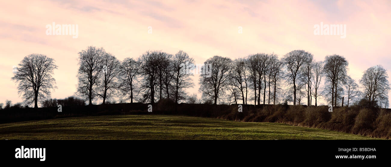 Bare trees on a ridge across a field at sunset Bourton on the Hill Gloucestershire England United Kingdom Europe - Stock Image