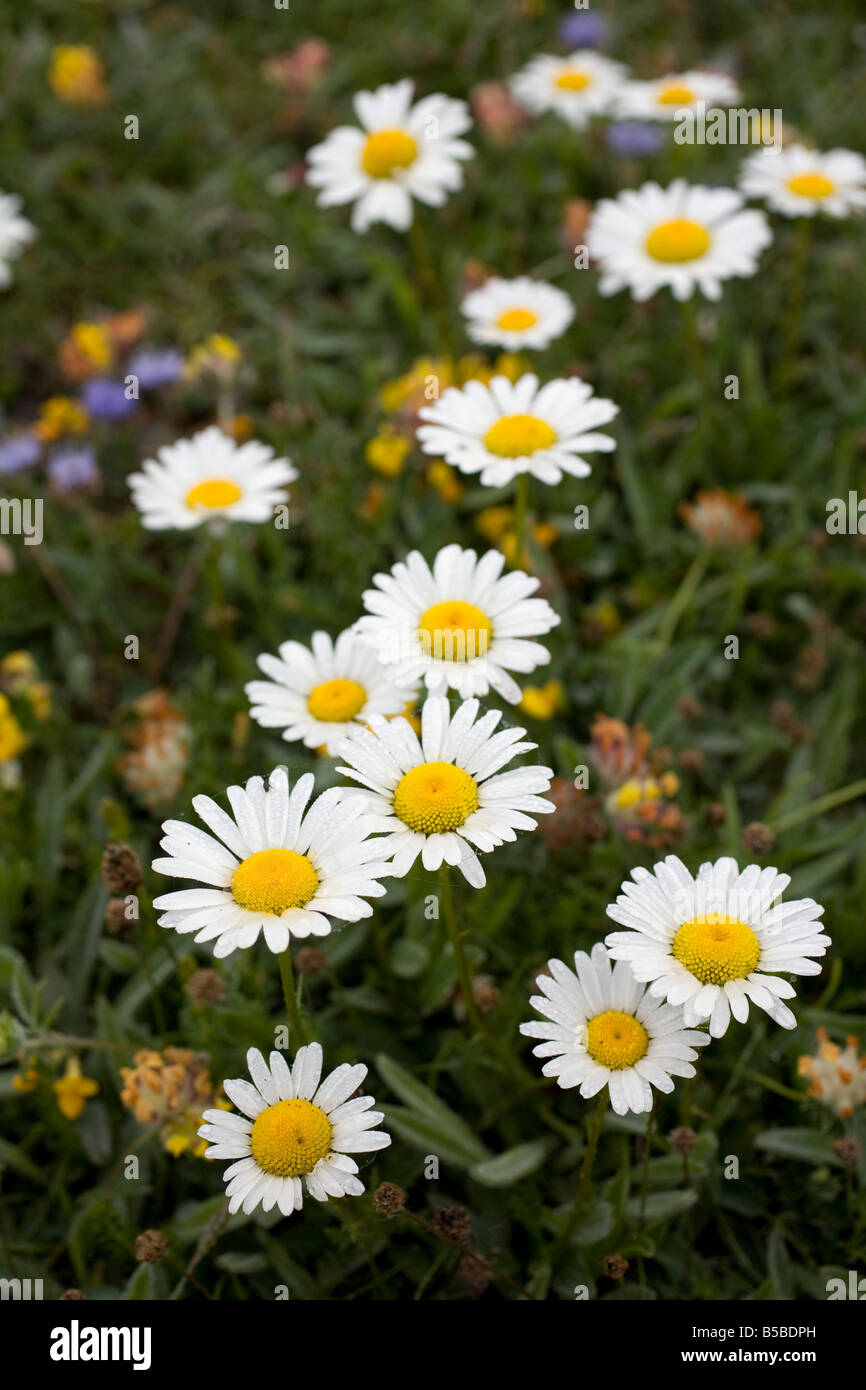 oxeye daisies Leucanthemum vulgare with kidney vetch and sheepsbit scabious Stock Photo