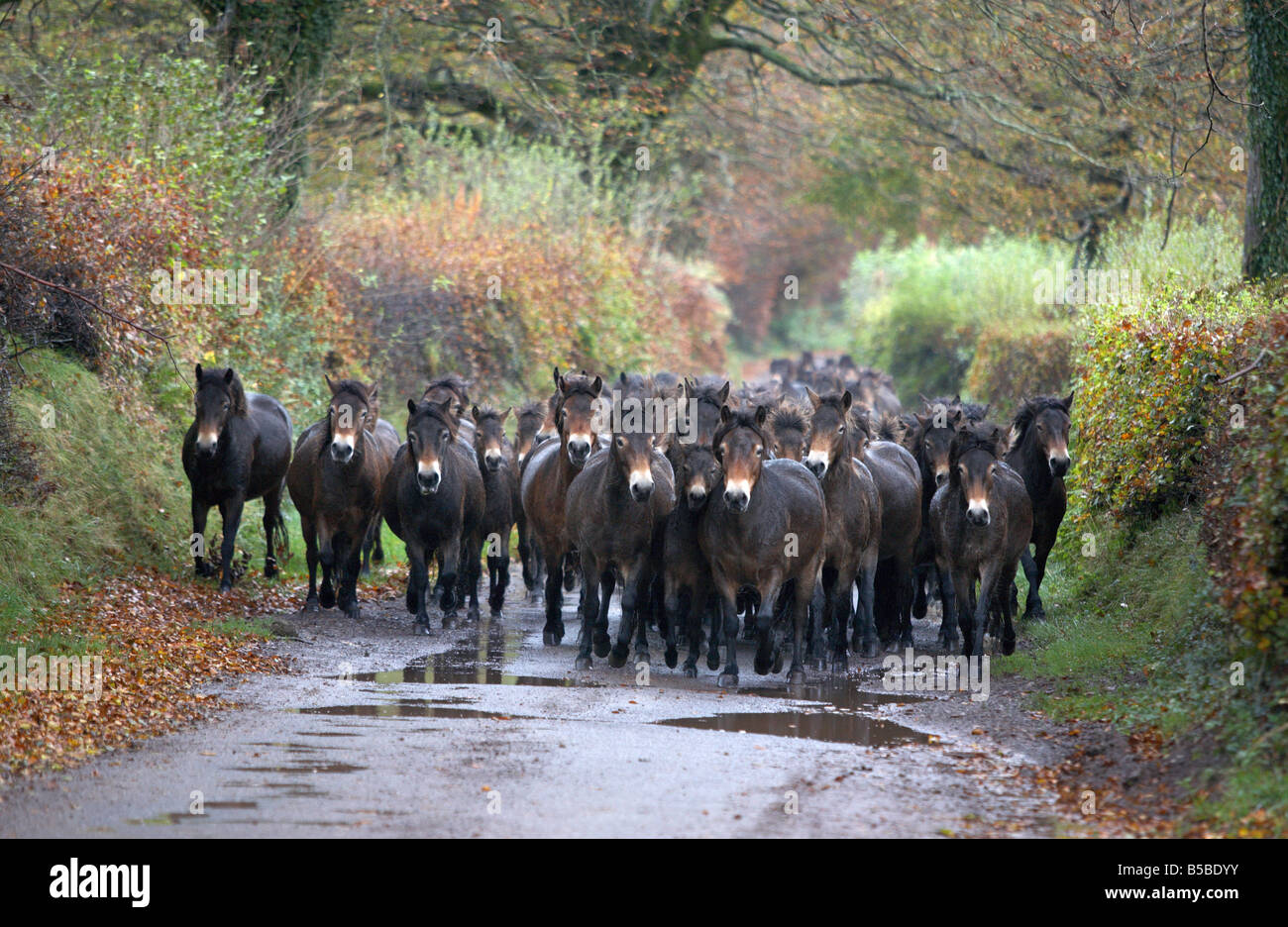 A herd of Exmoor Ponies is driven down a lane near Dulverton, Somerset to be inspected. This process is known as - Stock Image