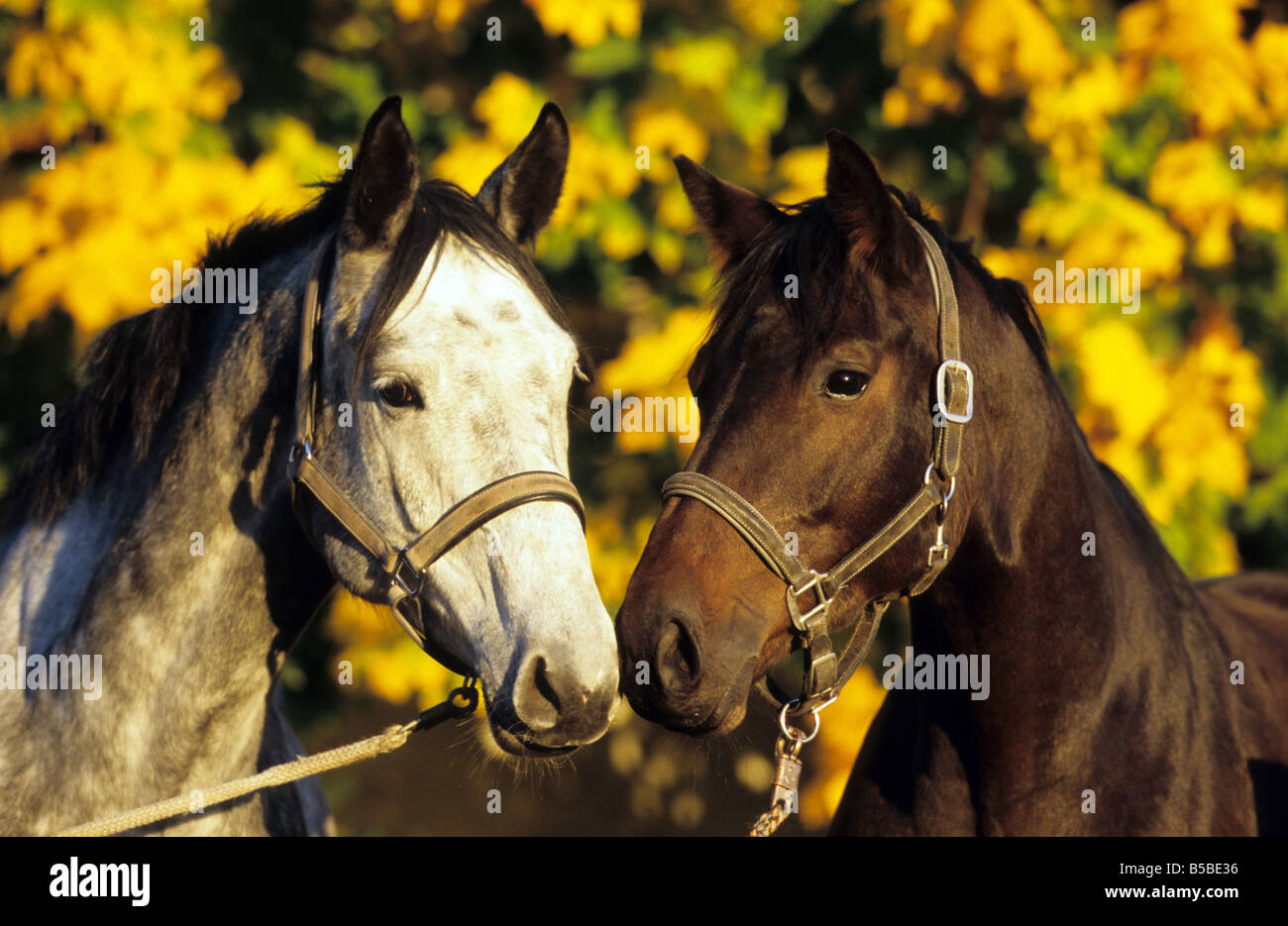 German Warmblood (Equus caballus). Two individuals head to head - Stock Image