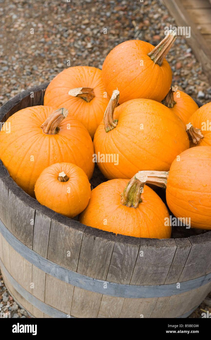 barrel of ripe orange pumpkins, closeup - Stock Image