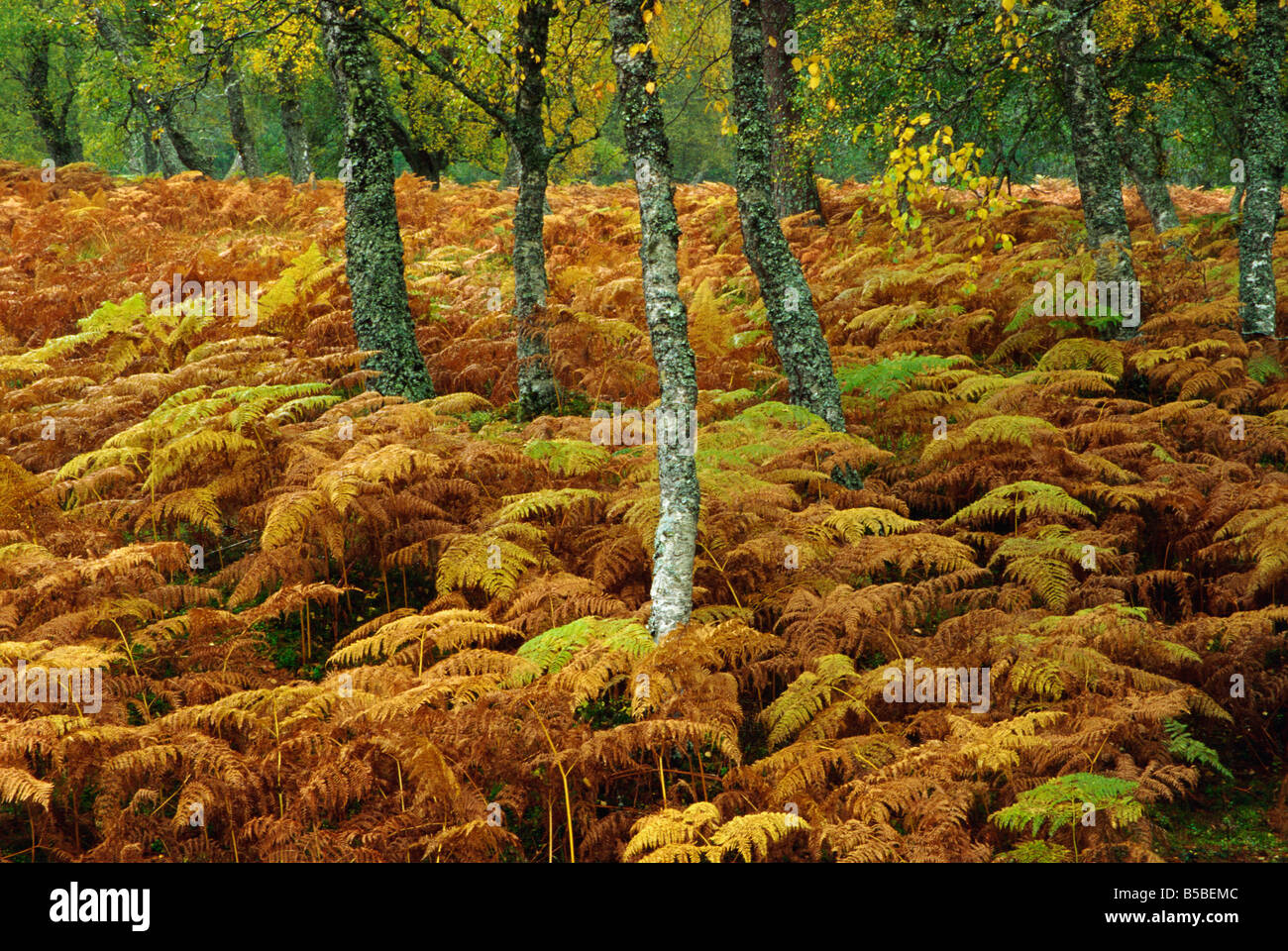 Birch trees and bracken in autumn, Glen Strathfarrar, Highlands, Scotland, Europe - Stock Image