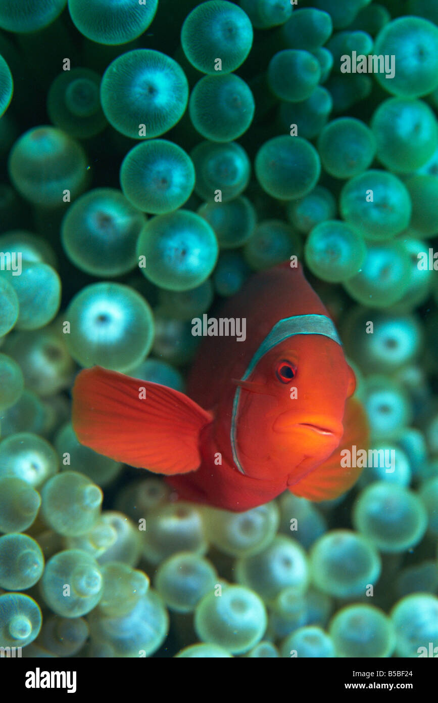 Clownfish (Amphiprion) are symbiotic with anemones, Gizo, Solomon Islands, Pacific - Stock Image