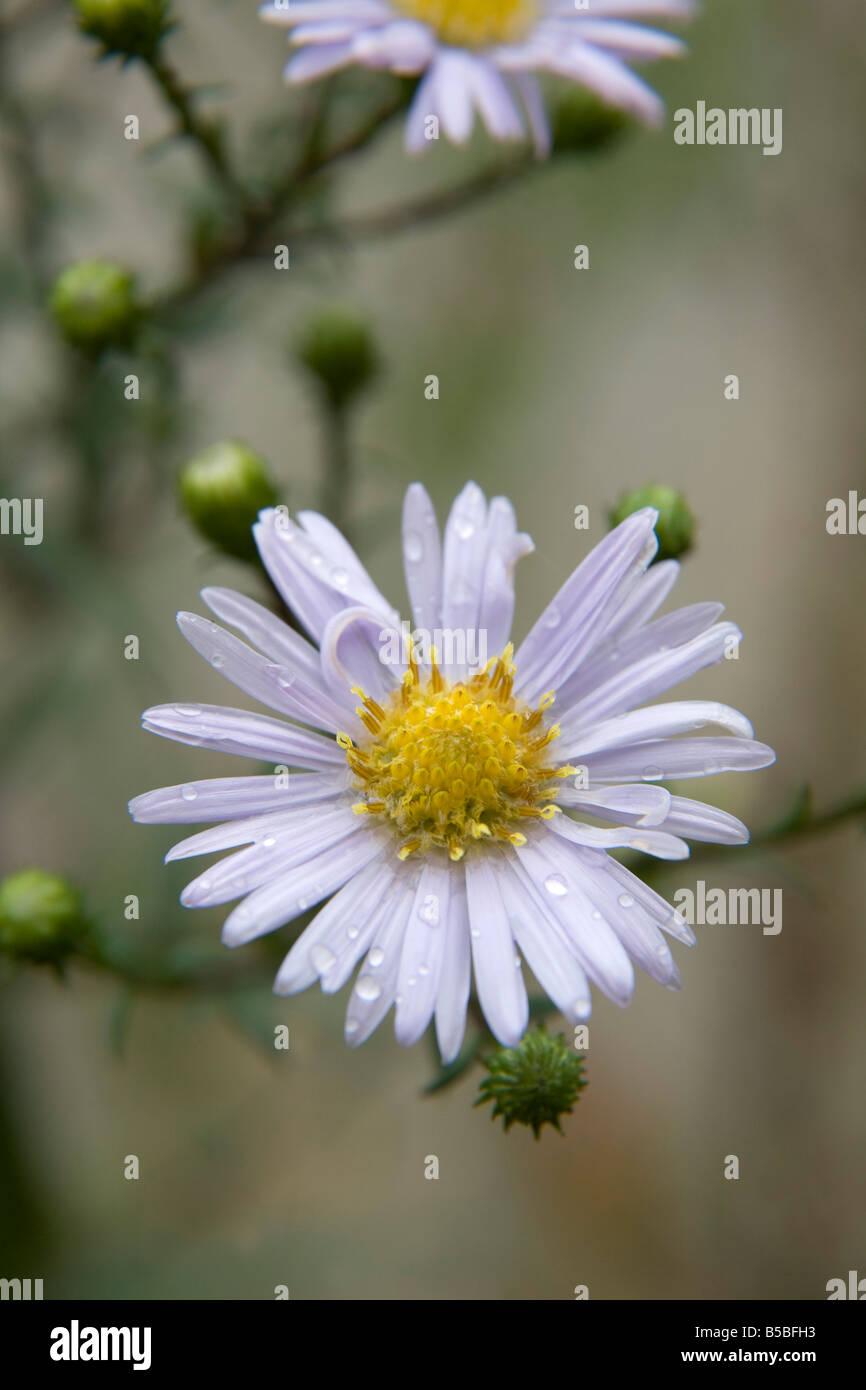 michaelmas daisy flower Stock Photo