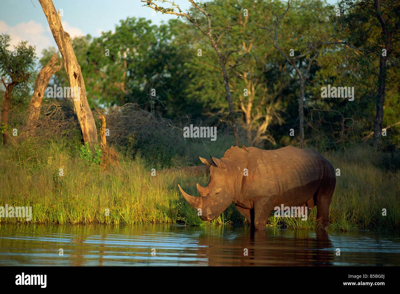 Square lipped Rhino Ceratotherium simum Kruger Park South Africa P Allen - Stock Image