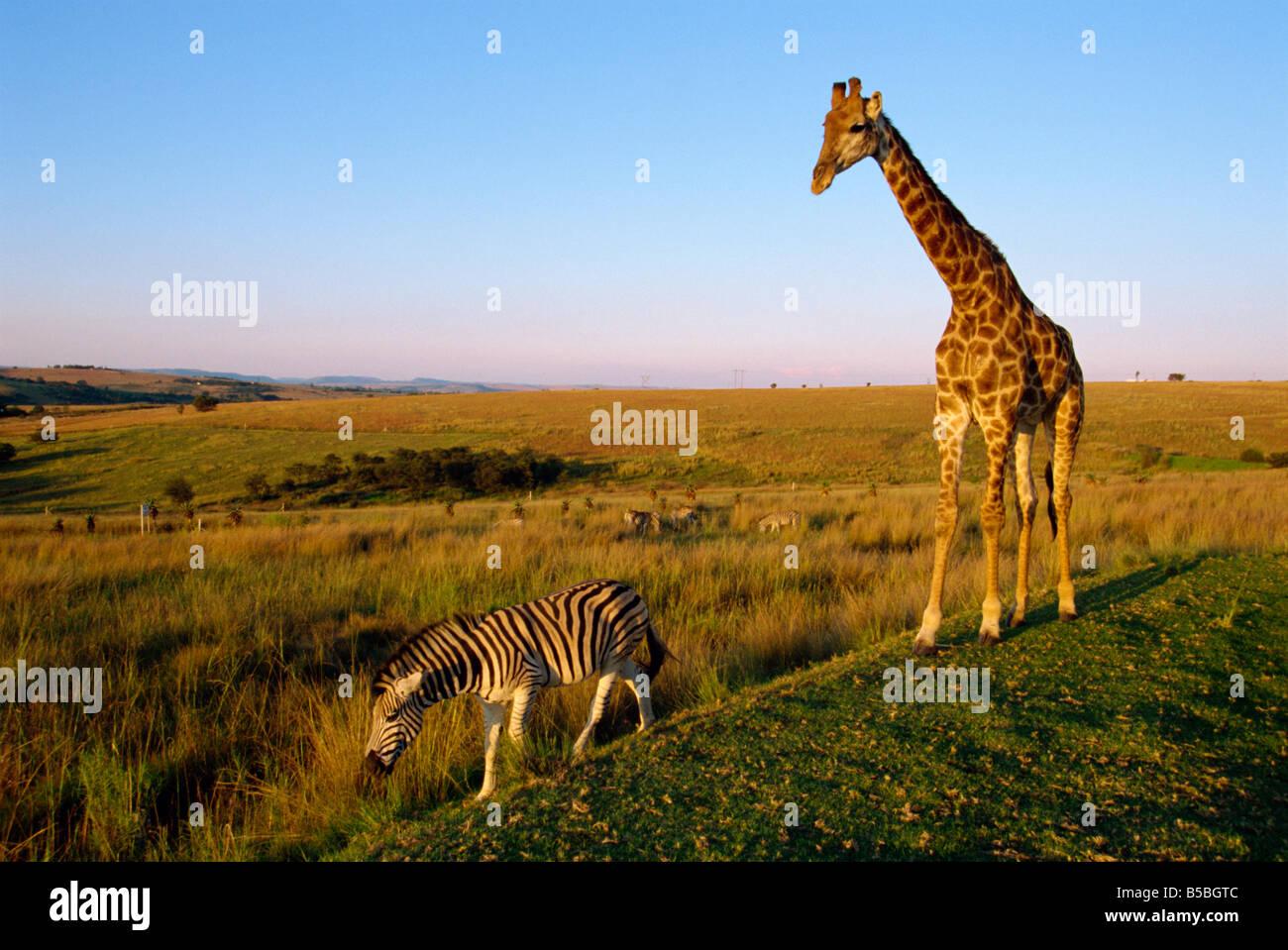 Giraffe and Zebra Kruger National Park South Africa A Evrard - Stock Image