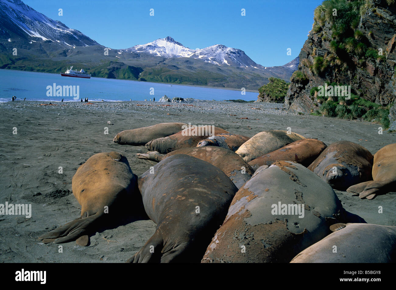 Elephant seals with tourist ship in distance Fortuna Bay South Georgia Polar Regions - Stock Image