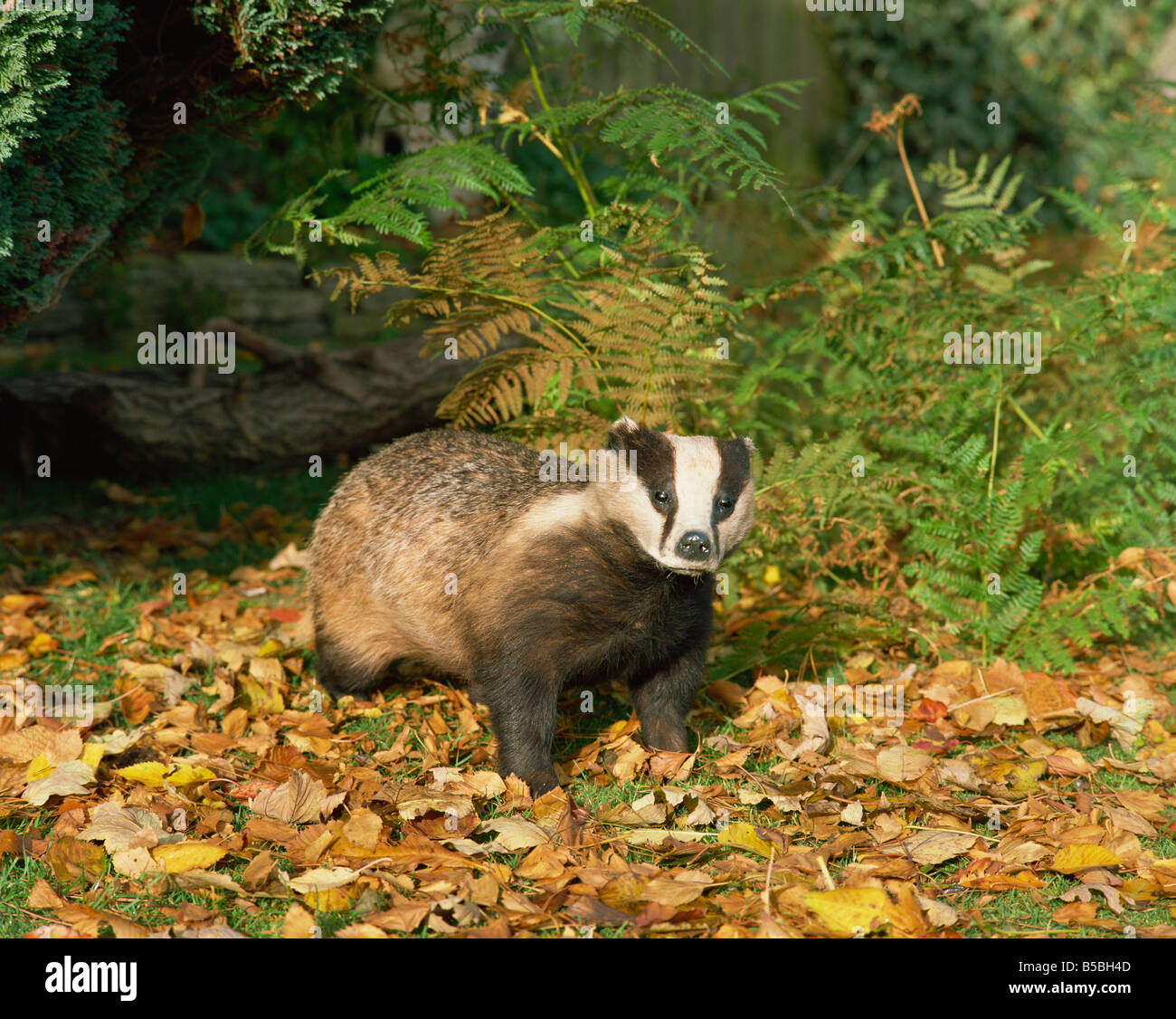 Badger Meles Meles United Kingdom Europe - Stock Image