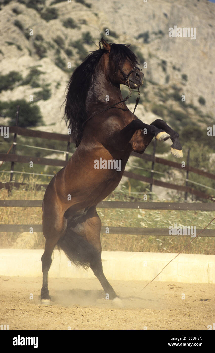 Andalusian Horse (Equus caballus), stallion rearing up - Stock Image