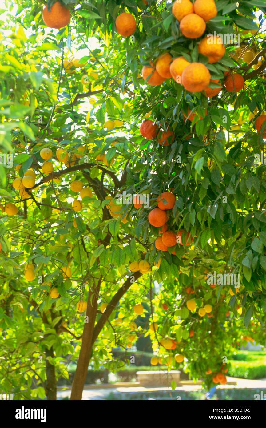 Orange and lemon trees in the Alcazar gardens, Cordoba, Andalucia, Spain, Europe - Stock Image
