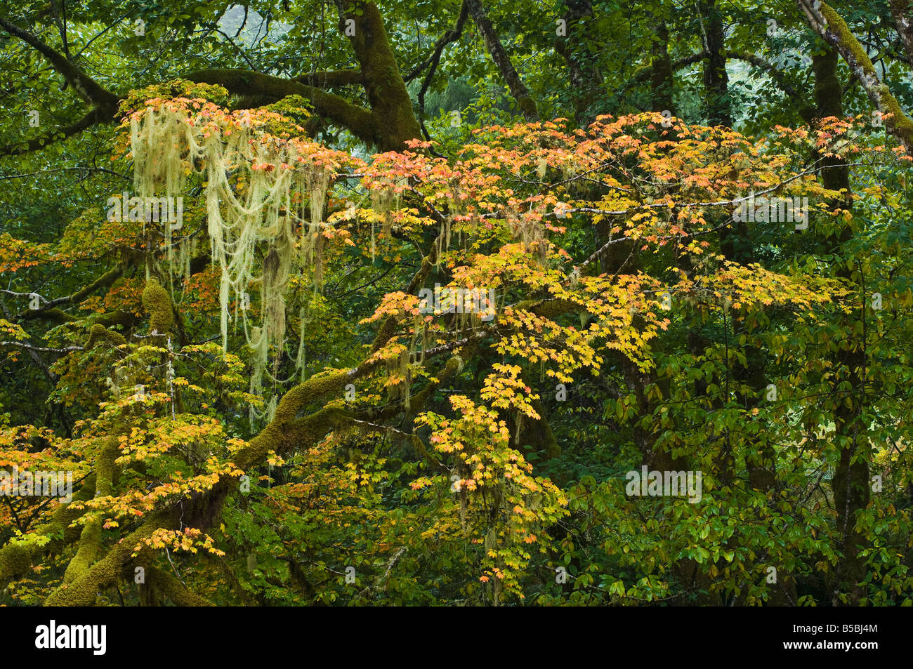 Vine maple and Old man s beard lichen along the Klaskanine River in Autumn Clatsop County Oregon - Stock Image