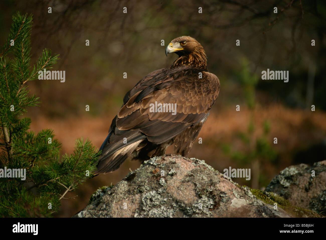 Golden eagle, Highlands, Scotland, Europe - Stock Image