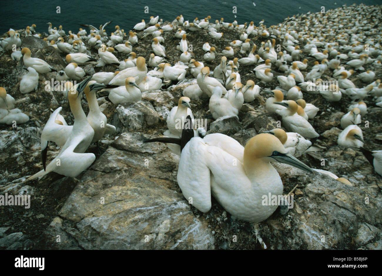 Gannets on nests, Bass Rock, East Lothian, Scotland, Europe - Stock Image