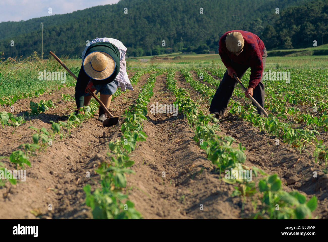 Subsistence farmers hand-hoeing cultivated bean plants, Laxe District, Galicia, Spain, Europe - Stock Image