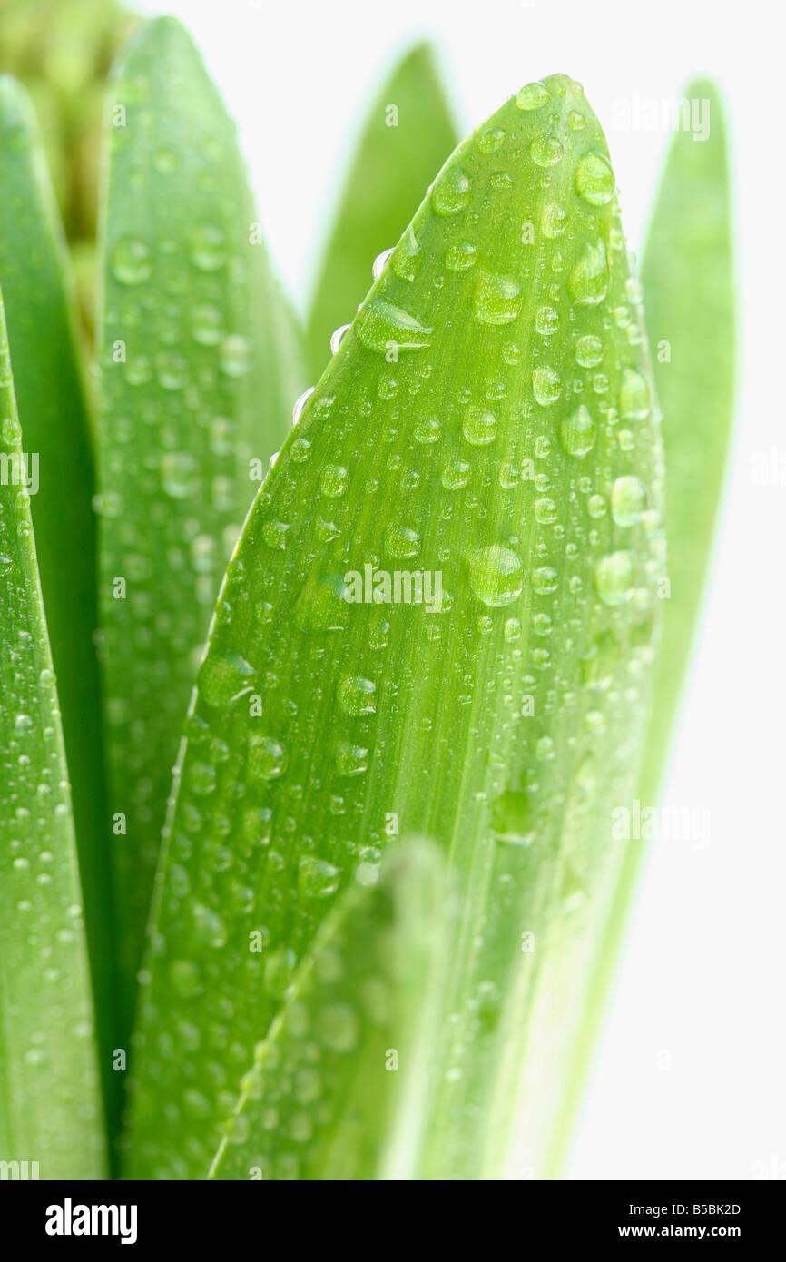 Droplets in Hyacinth leaves. Hyacinthus hybr Stock Photo