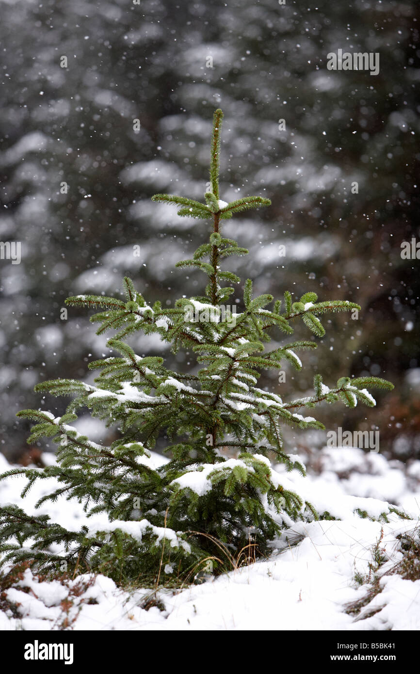 snow falling on young sapling evergreen conifer pine trees in a forest in county antrim northern ireland uk - Stock Image